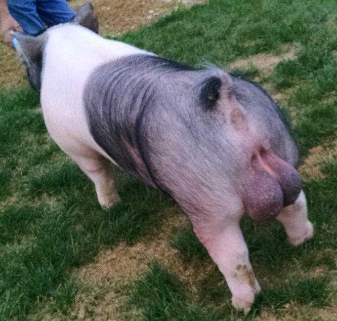 Pig sperm volume remarkable, valuable